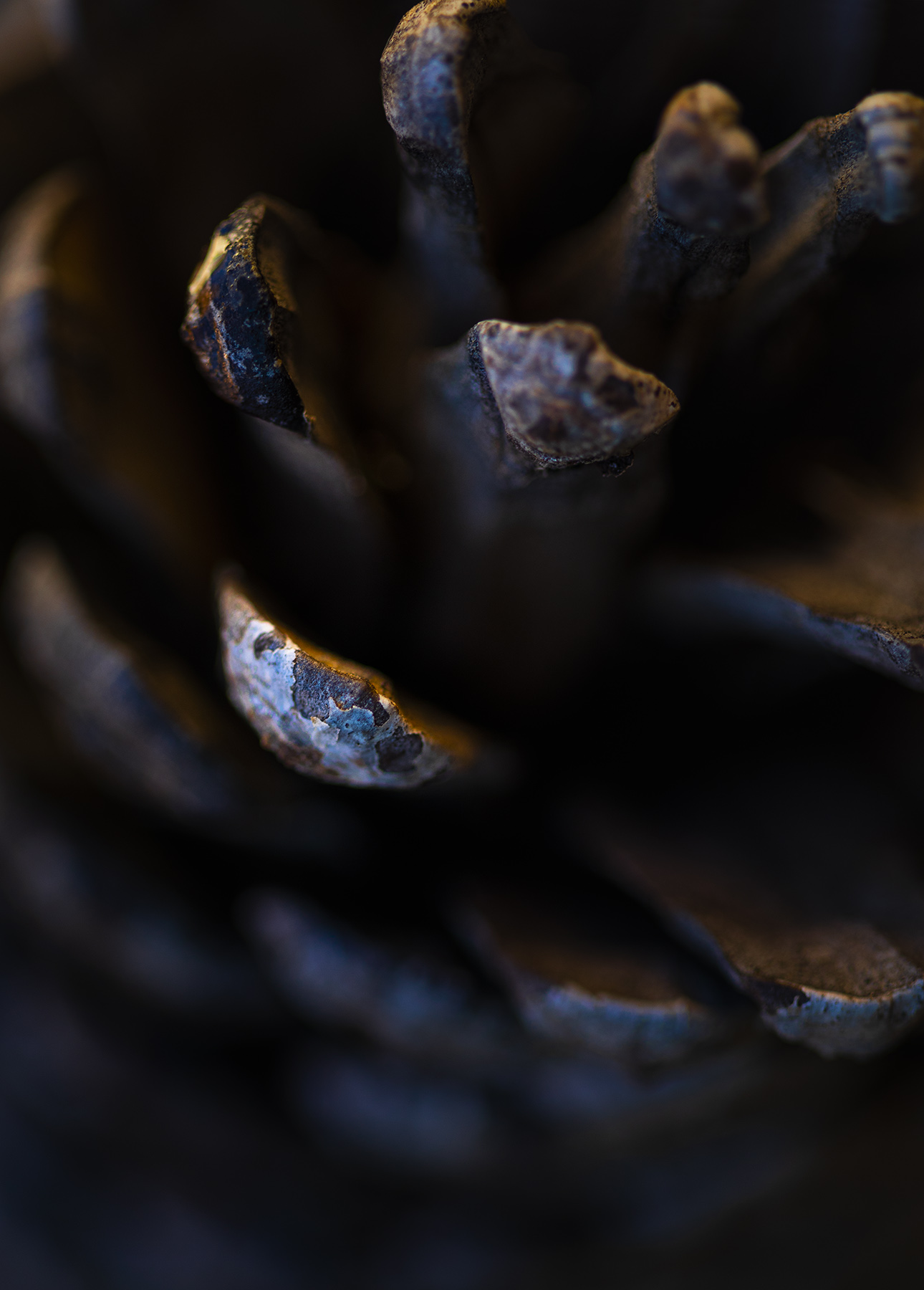 Pine cone, close up, My Backyard. Paul Scott, personal project.